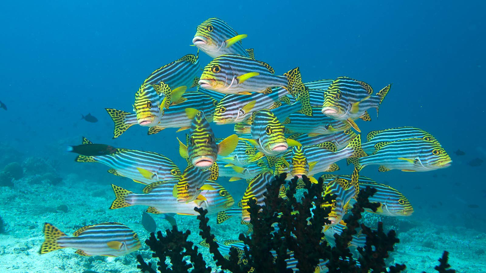Sweetlips_Underwater