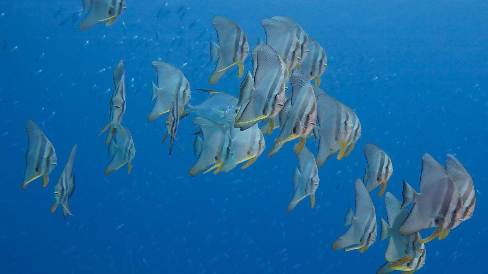 bat fish free diving maldives